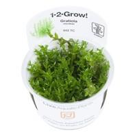 Tropica Gratiola Viscidula 1-2-Grow!