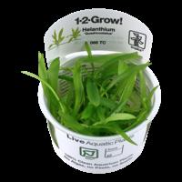 Tropica Helanthium 'Quadricostatus' 1-2-Grow!