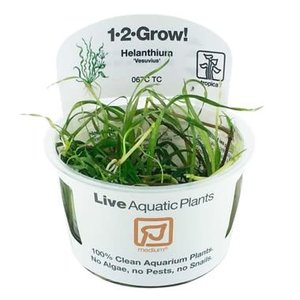Tropica Helanthium 'Vesuvius' 1-2-Grow!