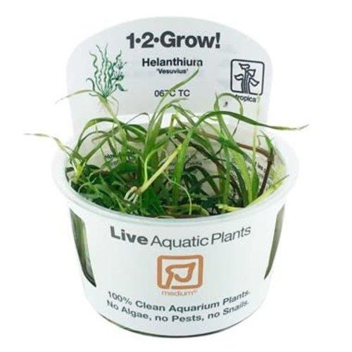 Helanthium 'Vesuvius' 1-2-Grow!