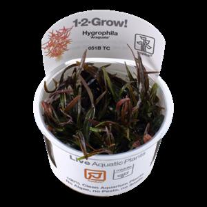 Tropica Hygrophila 'Araguaia' 1-2-Grow!