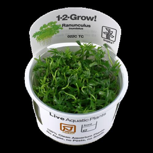 Ranunculus Inundatus 1-2-Grow!