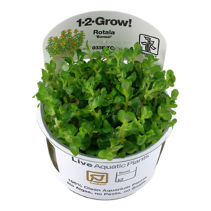 Rotala 'Bonsai' 1-2-Grow!
