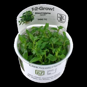 Staurogyne Repens 1-2-Grow!