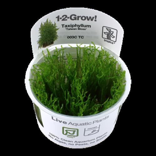 Taxiphyllum 'Taiwan Moss' 1-2-Grow!