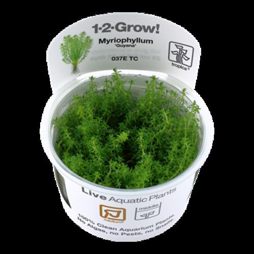 Myriophyllum 'Guyana' 1-2-Grow!