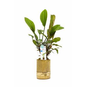 Bamboe Pot M - Echinodorus Mix