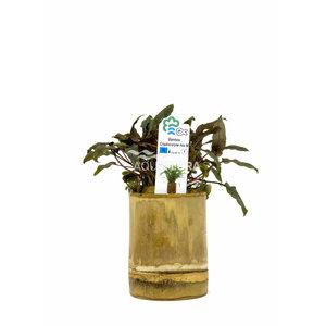 Bamboe Pot M - Cryptocoryne Mix