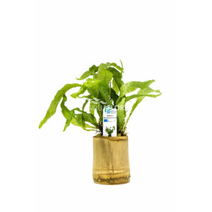 Bamboe Pot M - Microsorum Mix