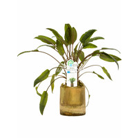 Bamboe Pot S - Cryptocoryne Mix