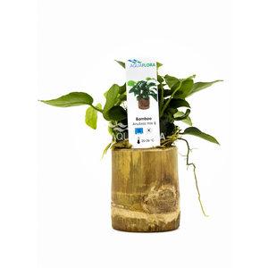 Bamboe Pot S - Anubias Mix
