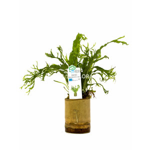 Bamboe Pot S - Microsorum Mix
