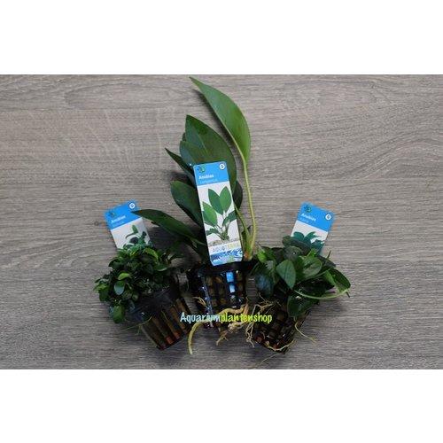 Anubias Aquariumplanten Trio #2