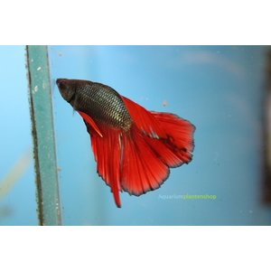 Betta Splendens Doubletail