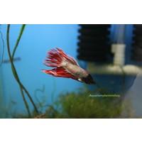Betta Splendens Dragon Crowntail
