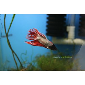 Betta Splendens Dragon Crowntail