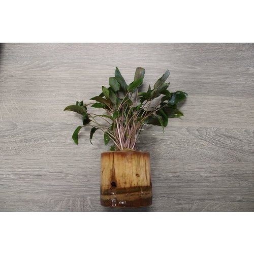 Bamboe Pot M - Cryptocoryne Mix
