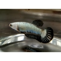Betta Plakat Black Samurai