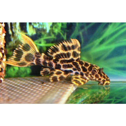 L114 Pseudacanthicus Leopardus