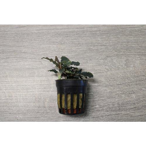 Bucephalandra sp. Maia