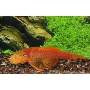 L144 Ancistrus Dolichopterus