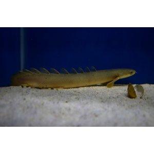 Polypterus Senegalus 20 cm