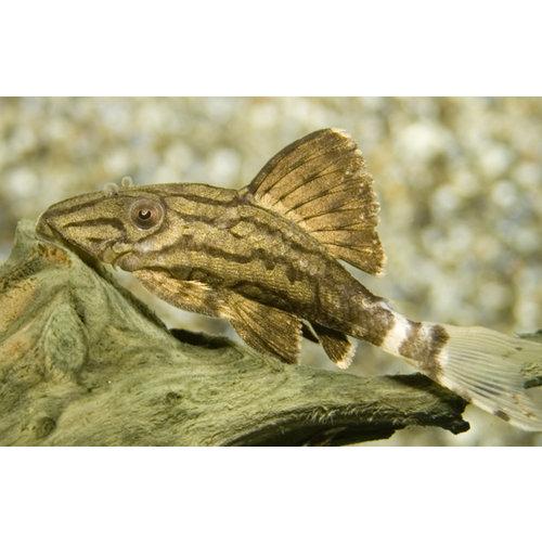 L190 Panaque Nigrolineatus