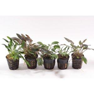Cryptocoryne Aquariumplanten Mix