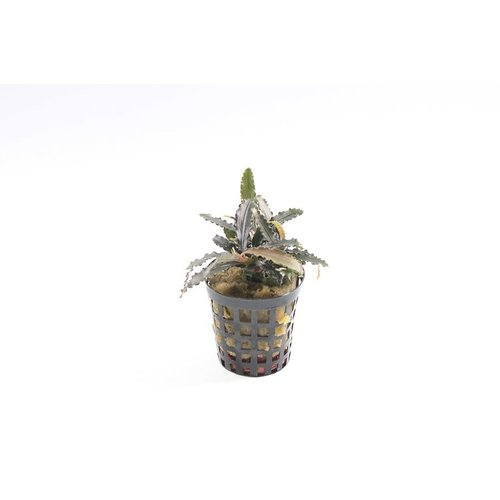 Bucephalandra Biblis