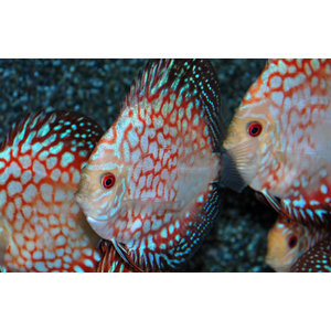 Discus Pigeon Checkerboard