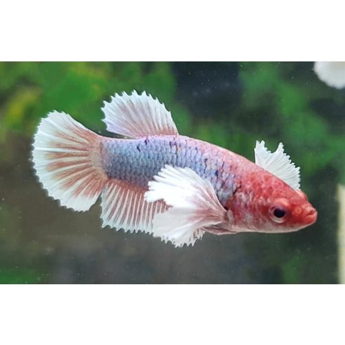 Betta Splendens Dumbo Ear - Vrouwen