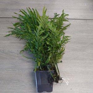 Bolbitis Heudelotii XL