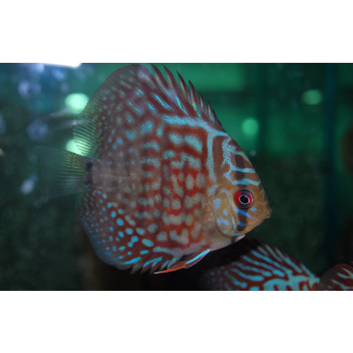 Discus Rood Turquoise