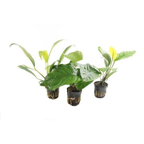 Anubias Aquariumplanten Trio #1