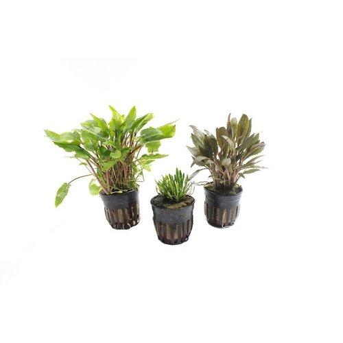 Cryptocoryne Aquariumplanten Trio #1