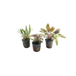 Cryptocoryne Aquariumplanten Trio #2
