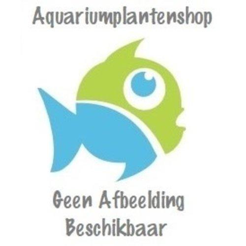 Aqua Art Aqua Art Hygrophila sp. 'Tiger'