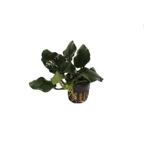 Anubias Nana 'Thick Leaf'