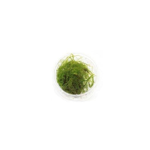 Plagiomnium Affine Pearl Mos - In Cup