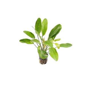 Echinodorus Reni