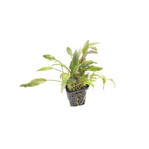 Cryptocoryne Species 'Brown'