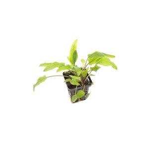 Cryptocoryne Green 'Crisped Leaf'