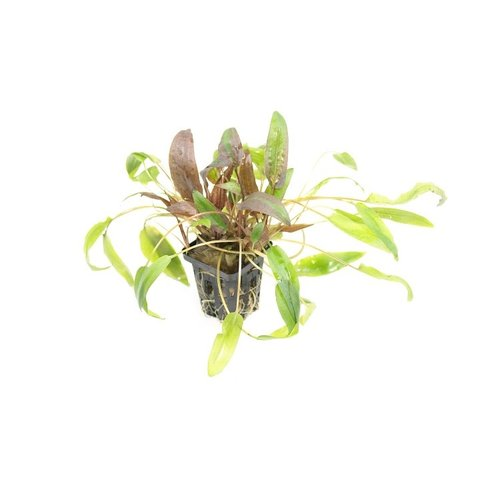 Cryptocoryne Species 'Green'