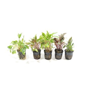 Cryptocoryne Aquariumplanten Mix