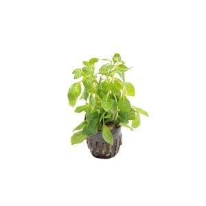 Ludwigia Palustris Green