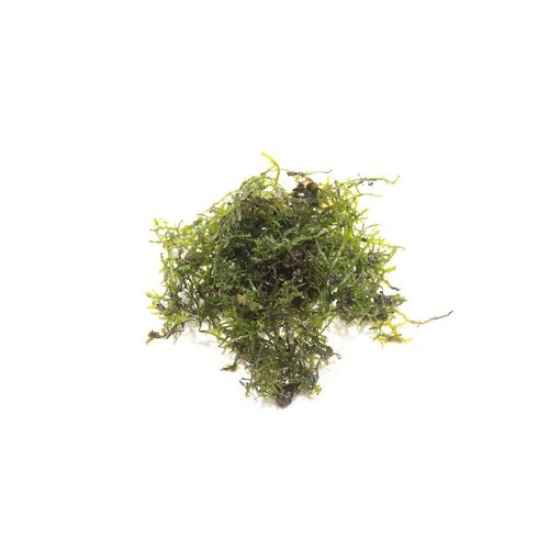 Riccardia Chamedryfolia Coral Moss - In Cup