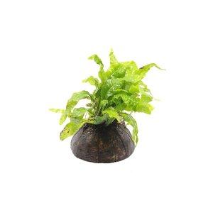 Halve Cocosnoot met Microsorum