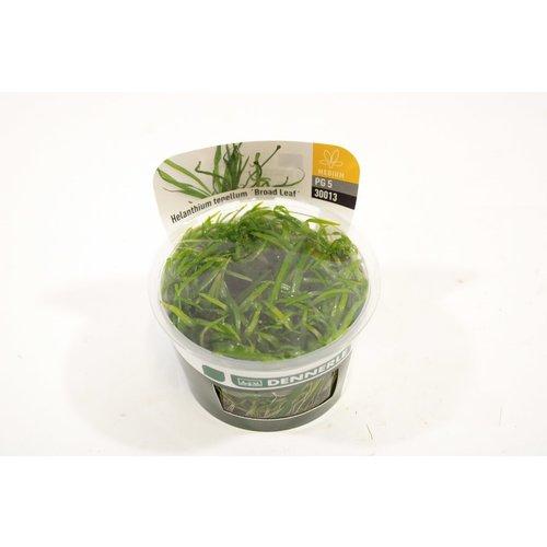 Dennerle Dennerle Helanthium Tenellum 'Broad Leaf' - In Vitro