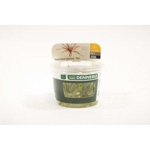 Dennerle Dennerle Helanthium Tenellum ´Red´ - In Vitro