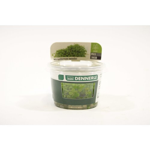 Dennerle Dennerle Micranthemum 'Montecarlo' - In Vitro